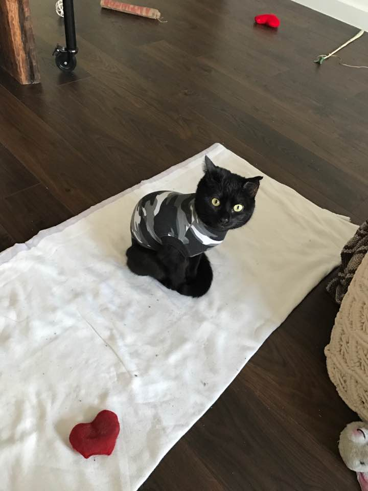 cat wearing suitical (instead of cat cone) during CitiKitty potty training